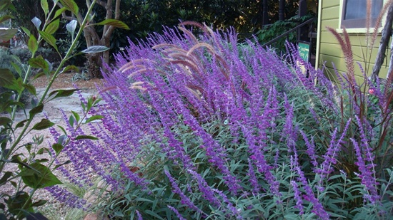 10 example of perennial plants for garden for Tall purple ornamental grass